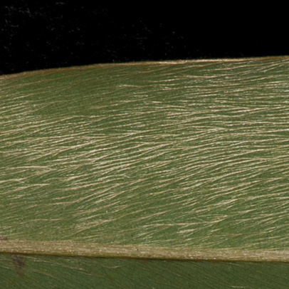 Xylopia hypolampra Midrib and venation, lower surface.