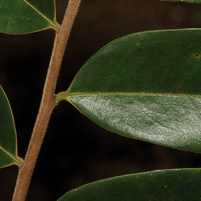 Xylopia hypolampra Leaf base, upper surface.