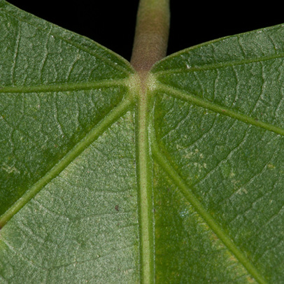 Caloncoba welwitschii Leaf base, upper surface.