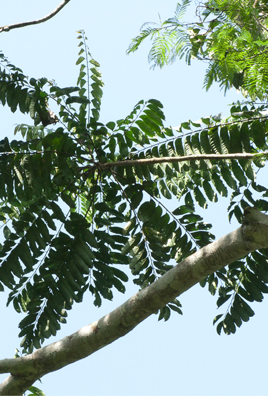 Zanthoxylum tessmannii Leaves clustered at the end of branches.