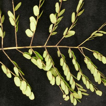 Tetrapleura tetraptera Leaf.