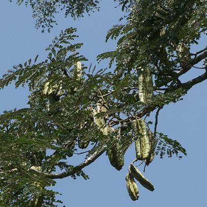 Tetrapleura tetraptera Fruiting branch.