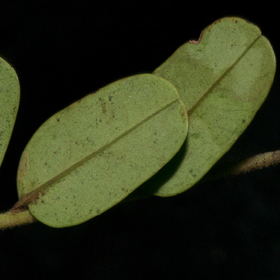 Tetrapleura tetraptera Leaflets, lower surface.