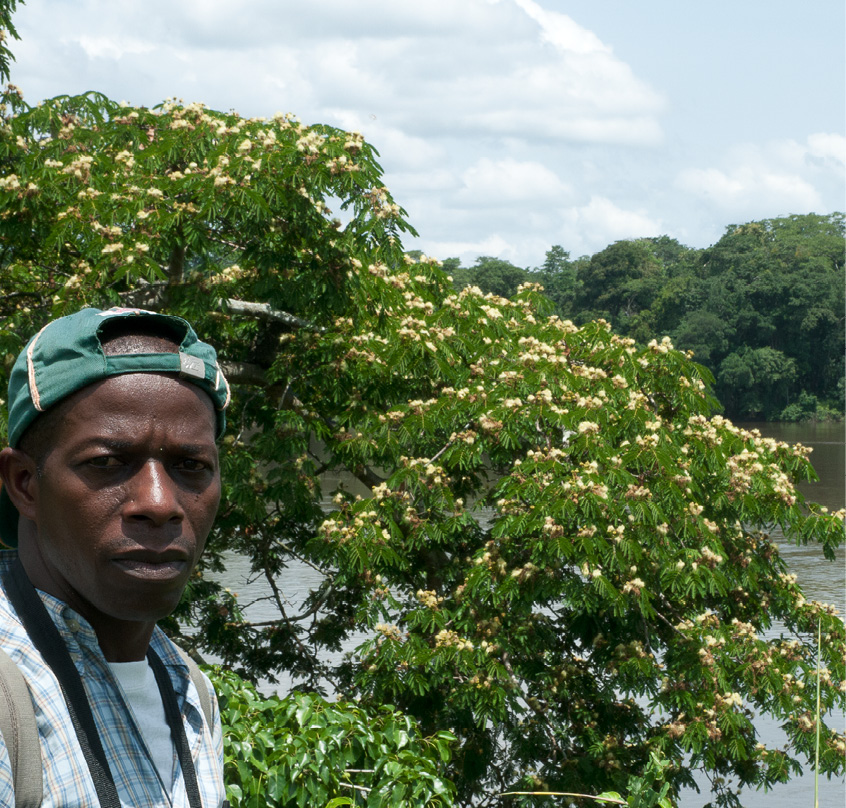 Albizia ferruginea Flowering tree.