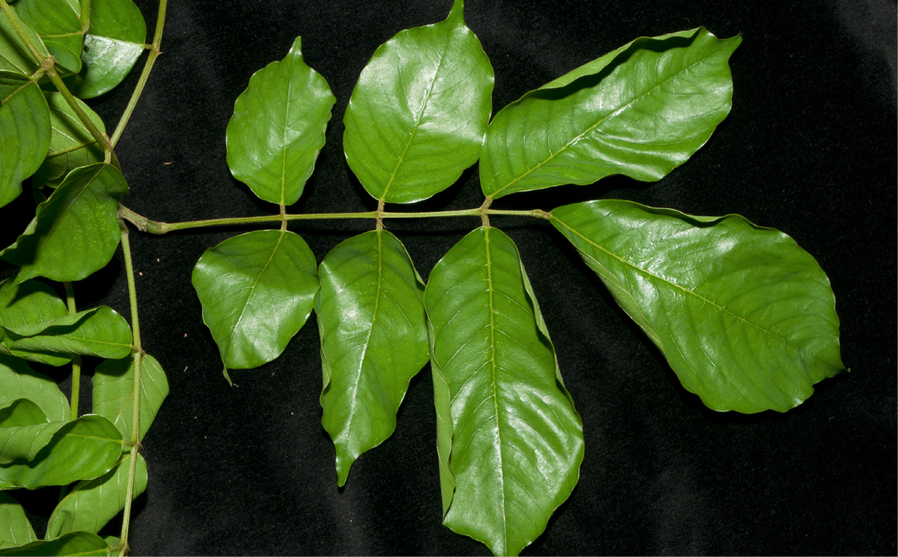 Platysepalum chevalieri Stipels on leaf rachis at base of petiolules..