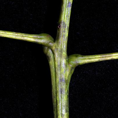 Tetrapleura tetraptera Sub-opposite petioles.
