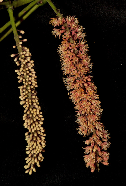 Tetrapleura tetraptera Inflorescences, one in bud and one with open flowers.