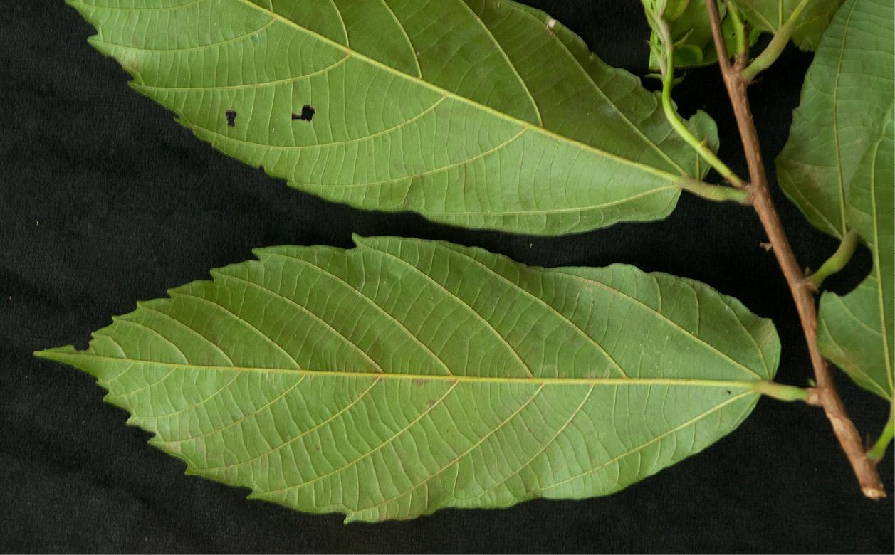 Desplatsia dewevrei Leaves, lower surface.