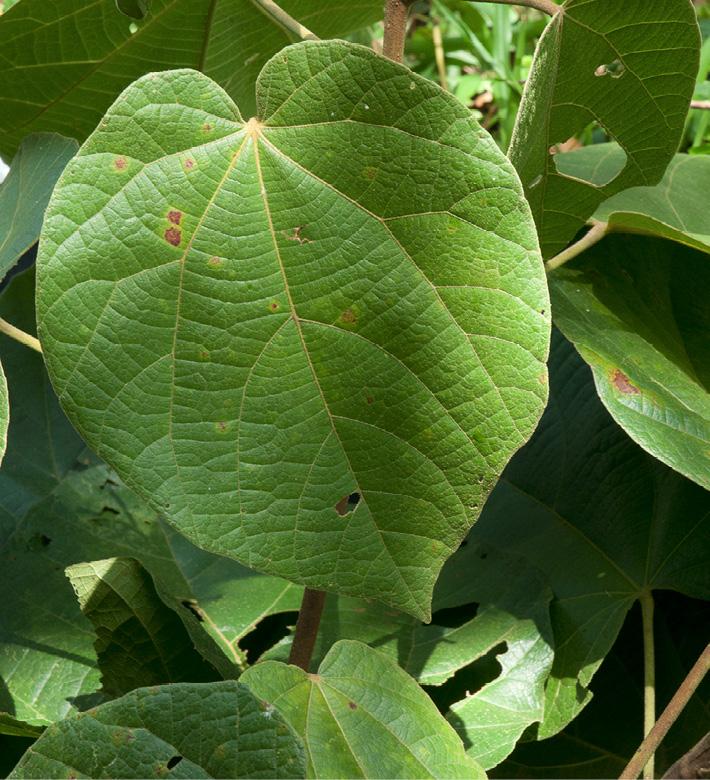 Christiana africana Leaf, upper surface.
