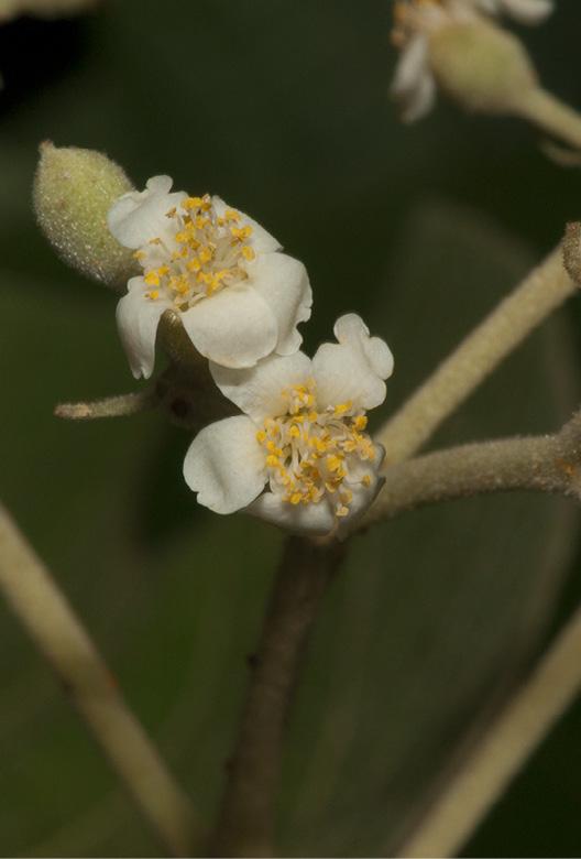 Christiana africana Flowers.