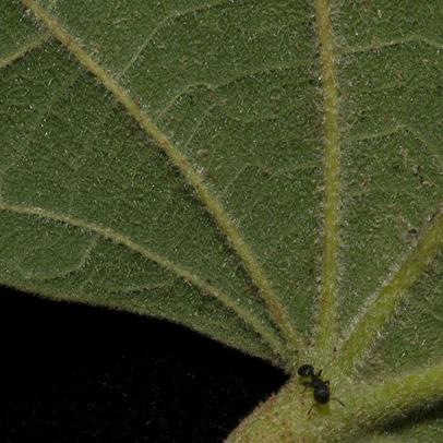 Christiana africana Mature leaf base, lower surface.