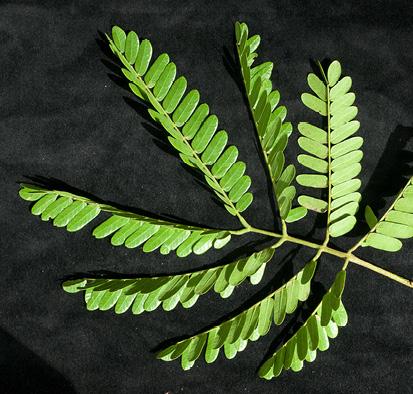 Albizia ferruginea Mature leaf.