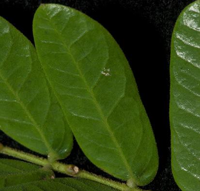 Albizia ferruginea Mature leaflet, note gland on rachis of pinnae.