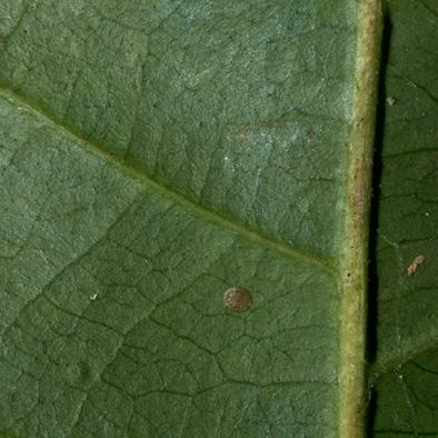 Diospyros ferrea Midrib and venation, leaf lower surface.