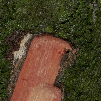 Cleistanthus mildbraedii Slash.