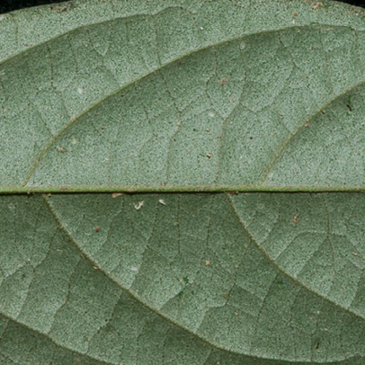 Afrostyrax lepidophyllus Midrib and venation, lower surface.