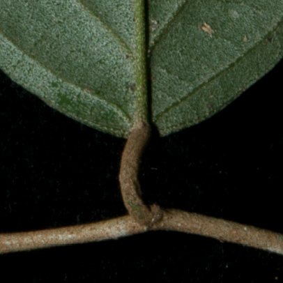Afrostyrax lepidophyllus Leaf base, lower surface.