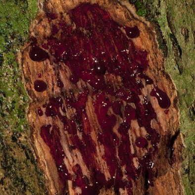 Pterocarpus soyauxii Slash.