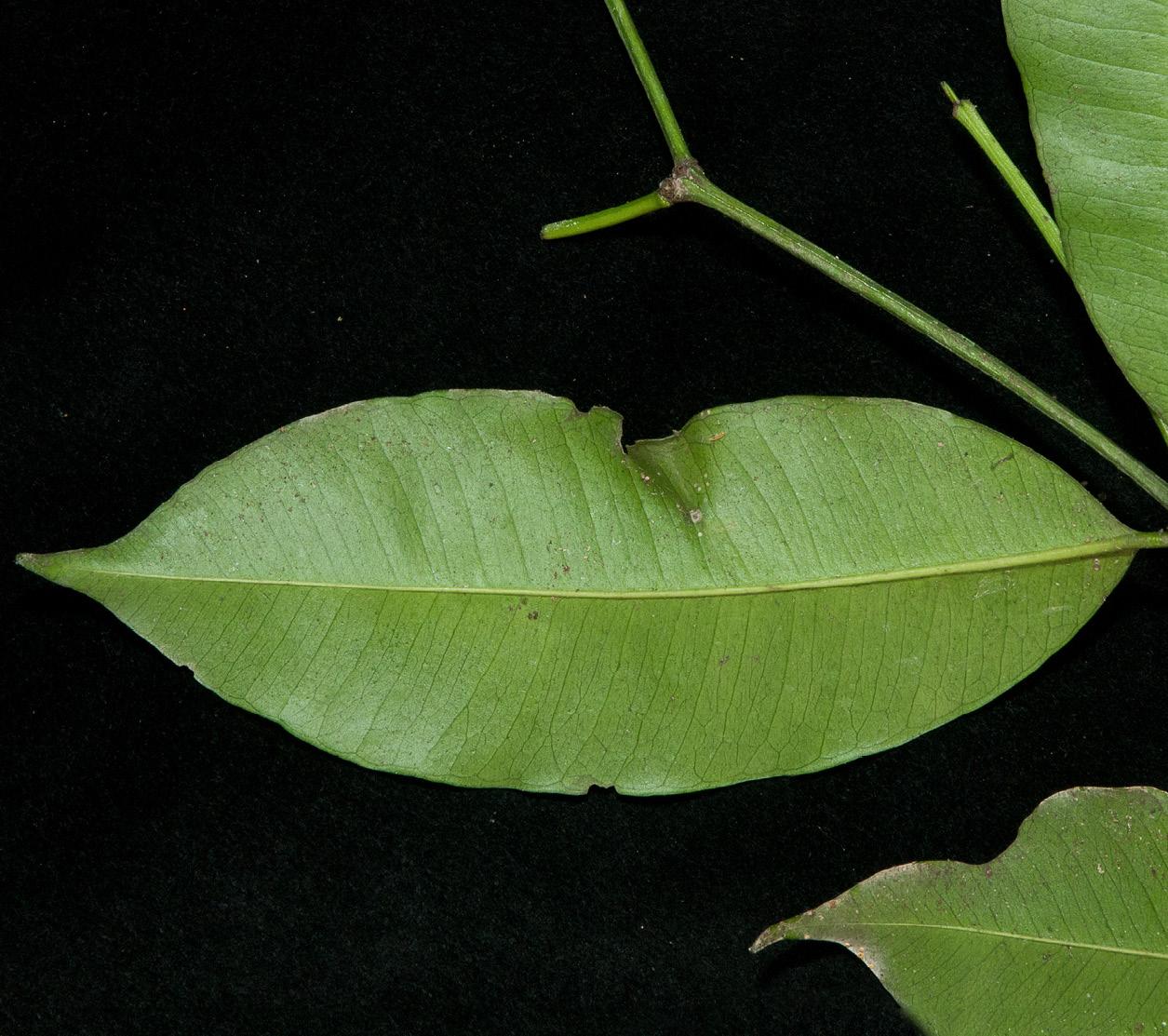 Hunteria ballayi Leaf, lower surface.