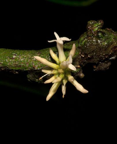 Hunteria ballayi Inflorescence.
