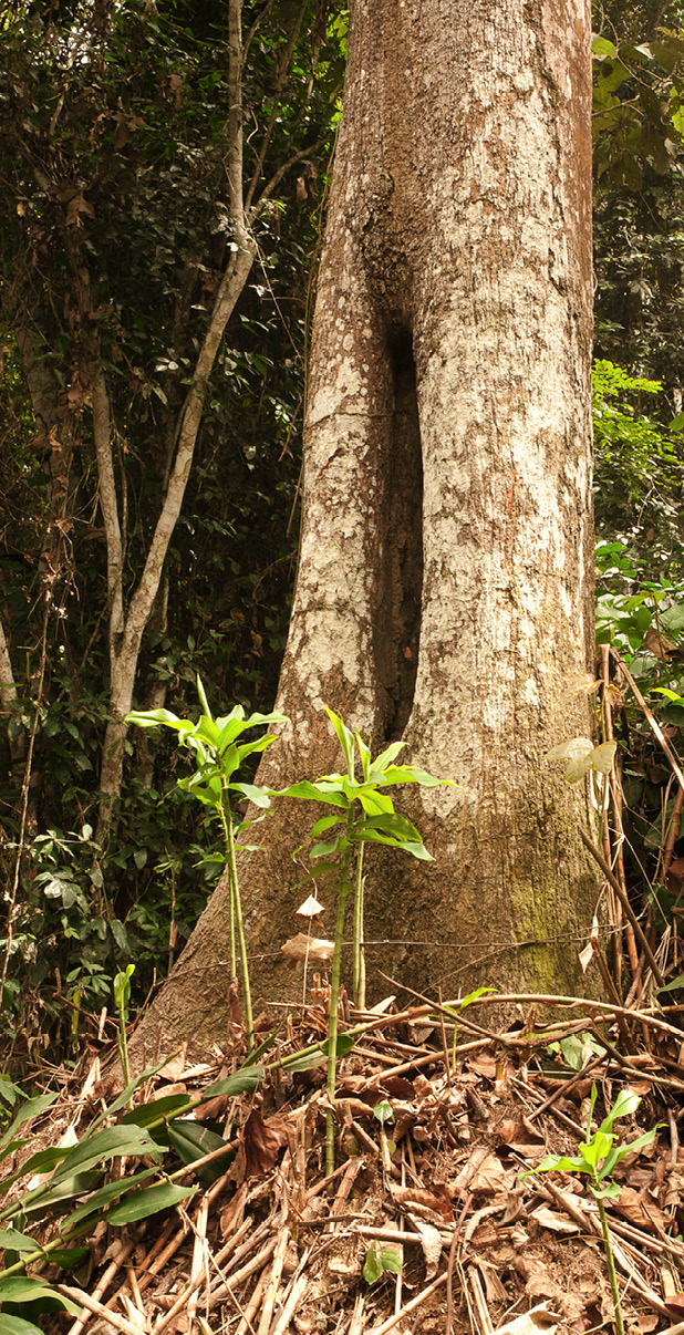 Pterygota bequaertii Tree base.