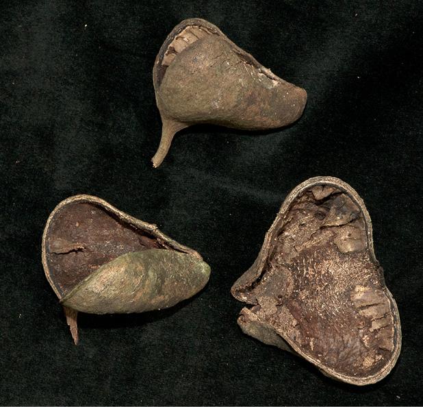 Pterygota bequaertii Old fruit.