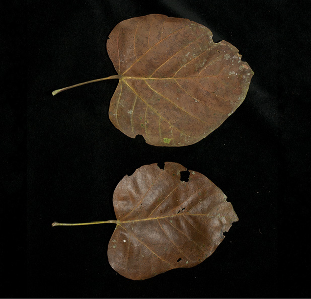 Pterygota bequaertii Fallen leaves, upper and lower surface.