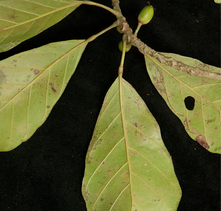 Uapaca guineensis Mature leaf, lower surface.