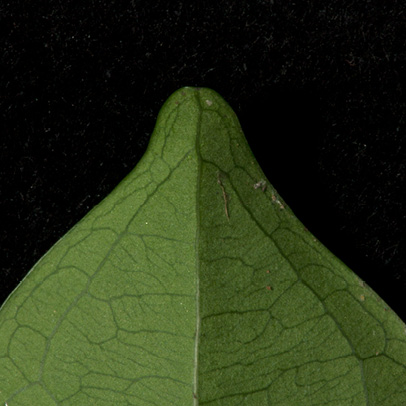 Brazzeia congoensis Leaf tip, lower surface.