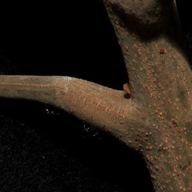 Pseudospondias microcarpa Petiole base.