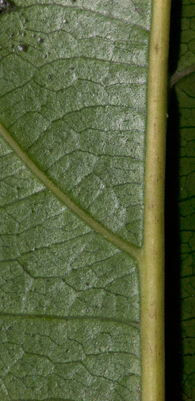 Pseudospondias microcarpa Midrib and venation, leaf lower surface.