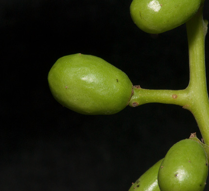 Pseudospondias microcarpa Immature fruit.