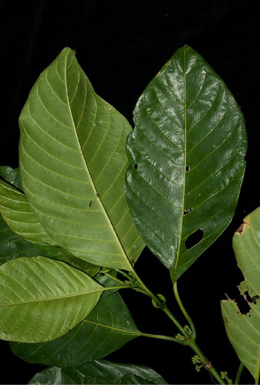 Pauridiantha rubens Leafy branch.
