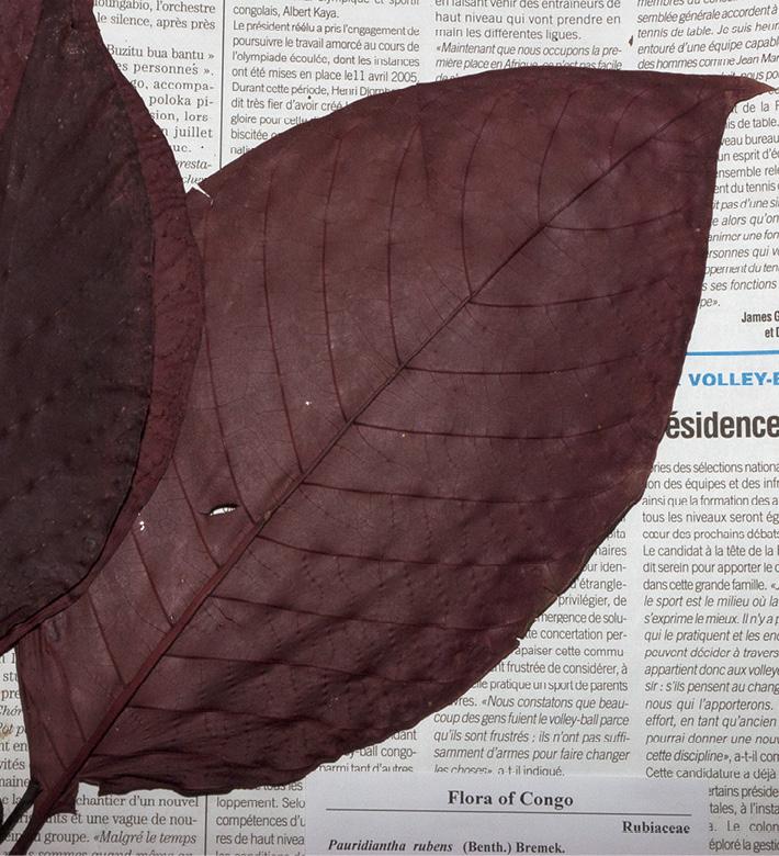 Pauridiantha rubens Dried leaf in herbarium.