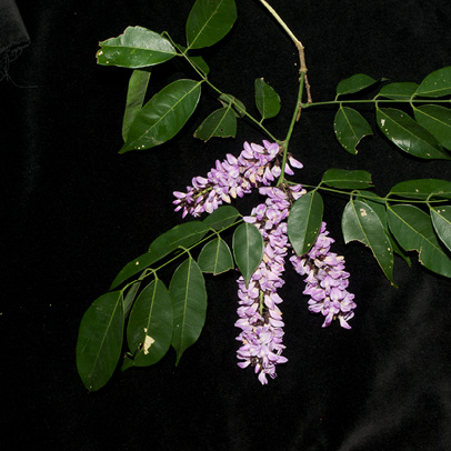 Millettia griffoniana Inflorescences and leaves.