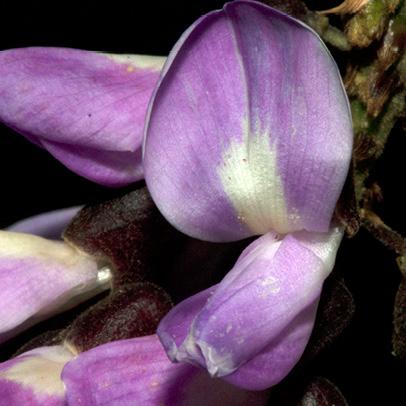 Millettia griffoniana Flower.