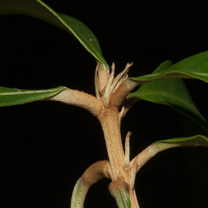 Synsepalum brevipes Petiole bases and stipules.
