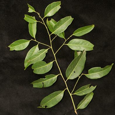 Staudtia kamerunensis Leafy branch.