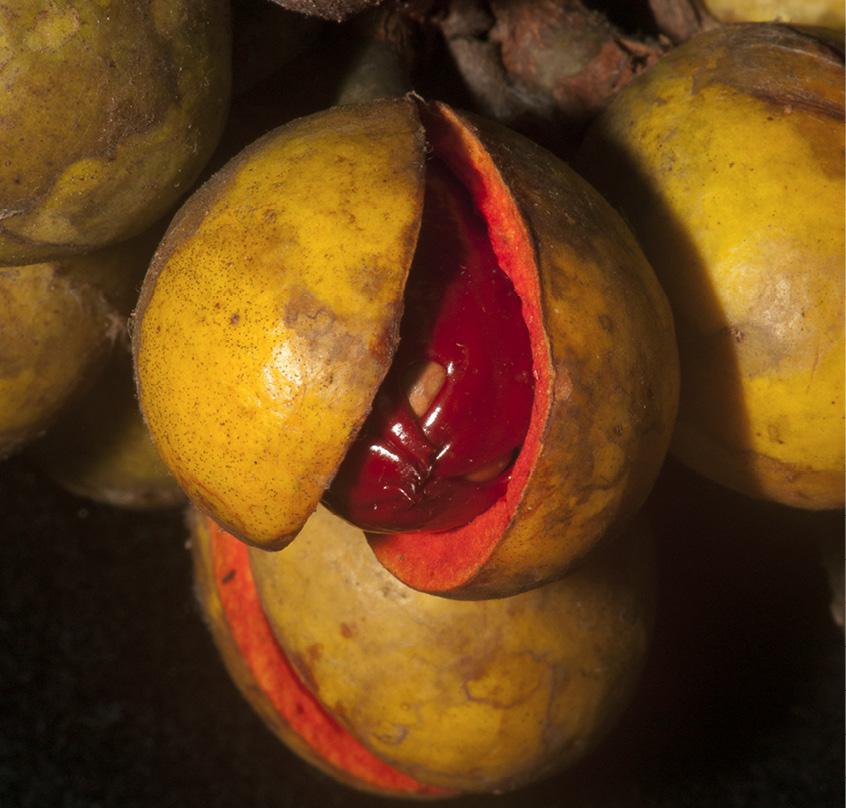 Staudtia kamerunensis Ripe fruit.