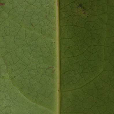 Staudtia kamerunensis Midrib, leaf lower surface.