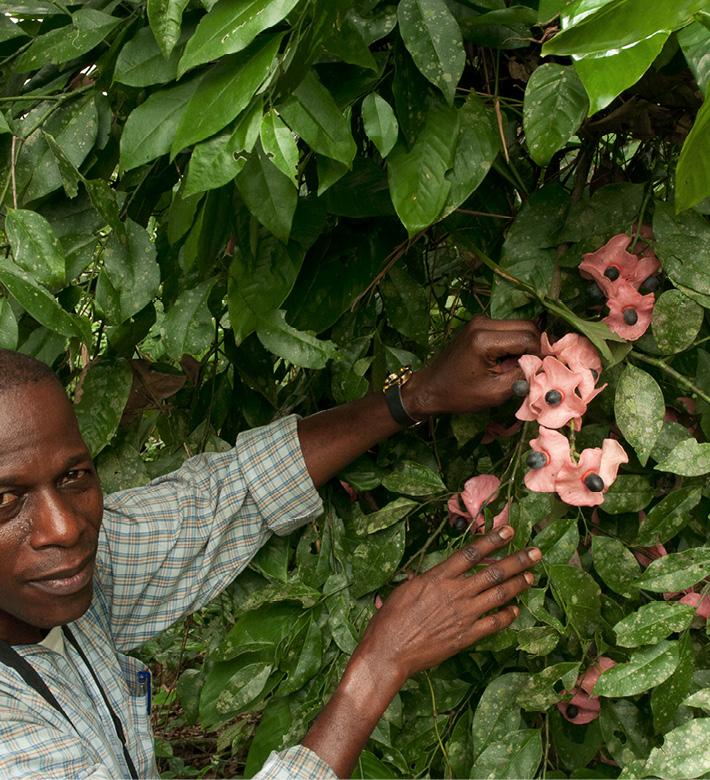 Aptandra zenkeri Leafy branch and fruits.