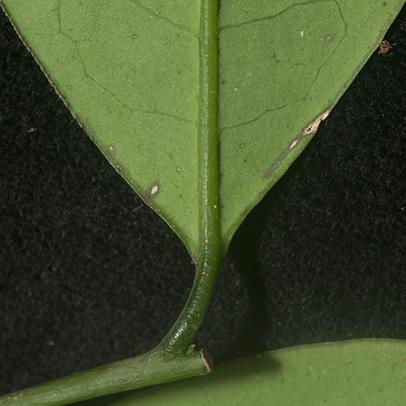 Aptandra zenkeri Leaf base, lower surface.