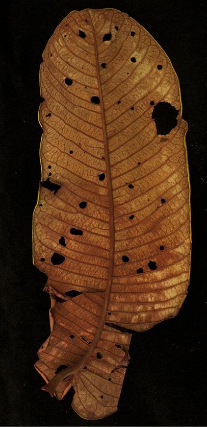 Pycnanthus angolensis Leaf, lower surface.