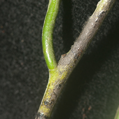 Diospyros bipindensis Petiole.