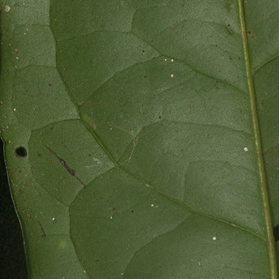 Diospyros bipindensis Midrib and venation, leaf lower surface.
