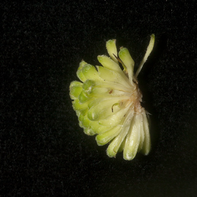 Milicia excelsa Flowers in the inflorescence.