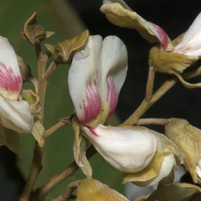 Platysepalum chevalieri Flowers.