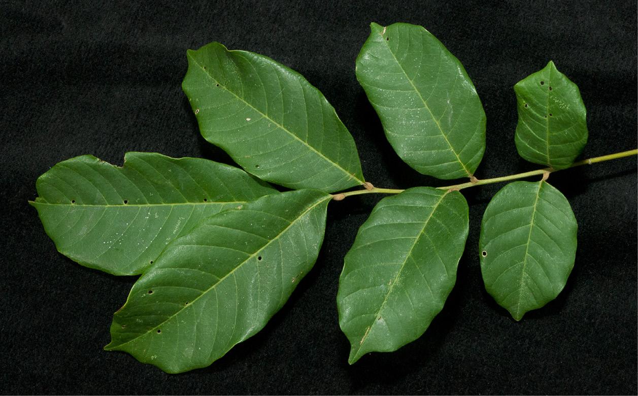 Lecaniodiscus cupanioides Leaf, upper surface.