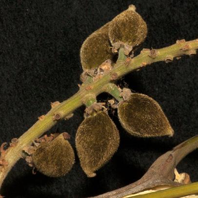 Lecaniodiscus cupanioides Immature fruit.