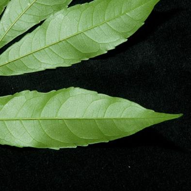 Bersama palustris Leaflet, lower surface.